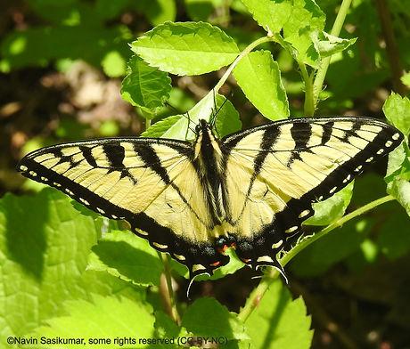 eastern.tiger.swallow.m.navin_edited.jpg