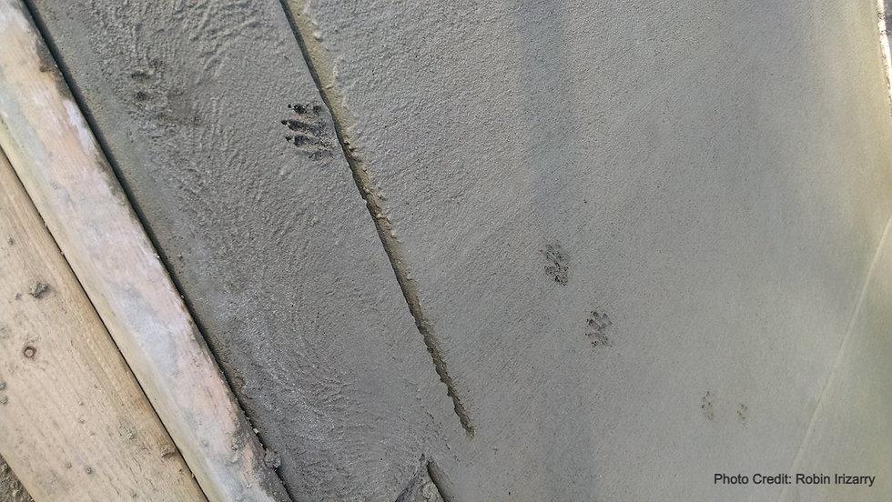 Raccoon.cement.Robin_edited.jpg