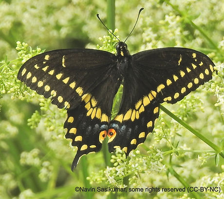 black.swallowtail.navin_edited.jpg