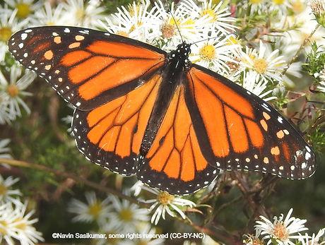 monarch.navin_edited.jpg