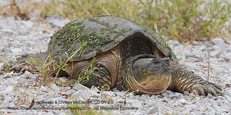 Chelydra_serpentina_Snapping_Turtle_(349