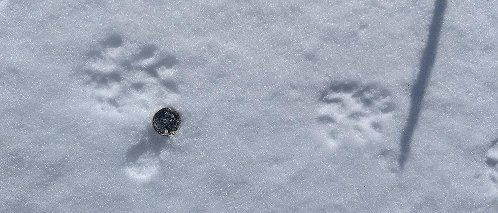 opossum.in.snow_edited.jpg