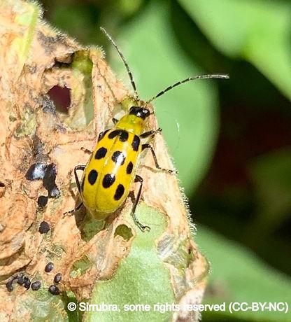 spottedcucumberbeetle_edited.jpg