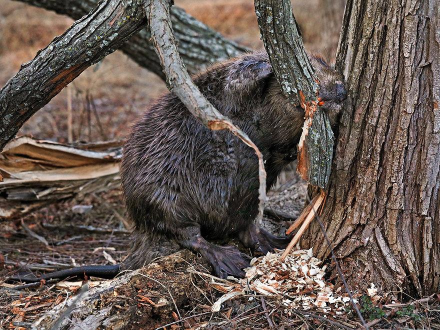 BeaversMatter.org1.jpg