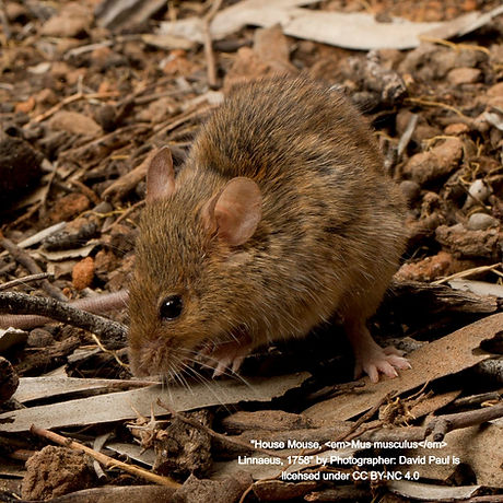 mus-musculus-house-mouse-neds-corner-vic