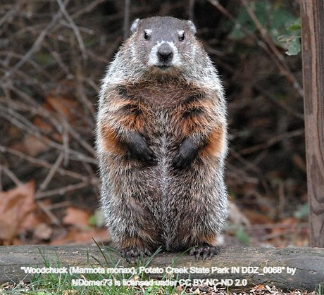 groundhog_edited.jpg