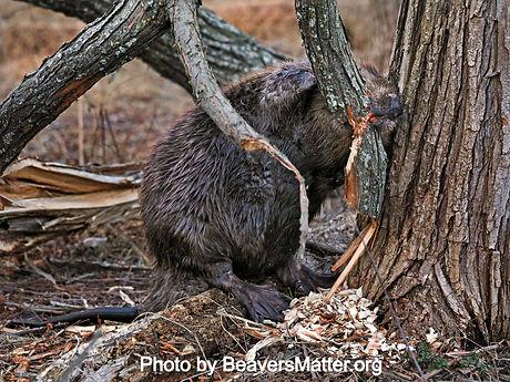BeaversMatter_edited.jpg
