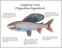 Grayling-Trout.jpg