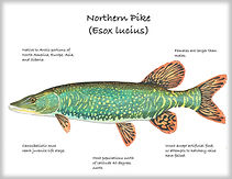 Northern-Pike copy.jpg