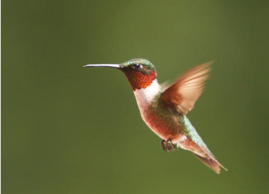 Ruby-throated Hummingbird M in flight