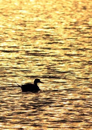 Pintail Sunset