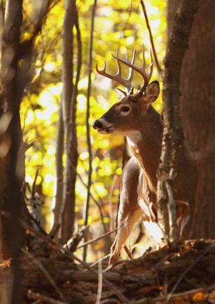 Afternoon Buck