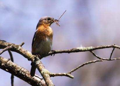 Female Bluebird with nest material.jpg
