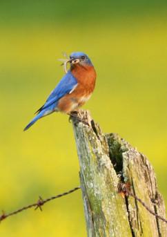 Bluebird at Work