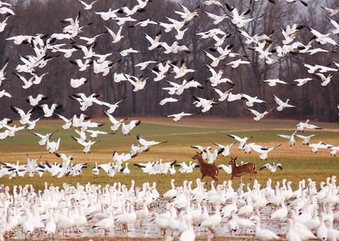 Deer running through Snow Geese flock