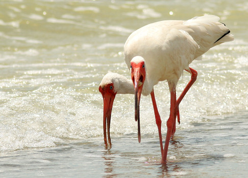 White Ibis eating by water