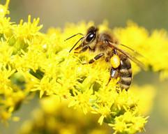 Honeybee on Goldenrod