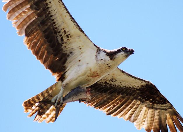 Osprey in Flight With Fish