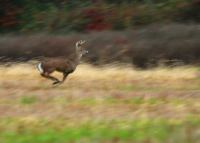 Buck at full run