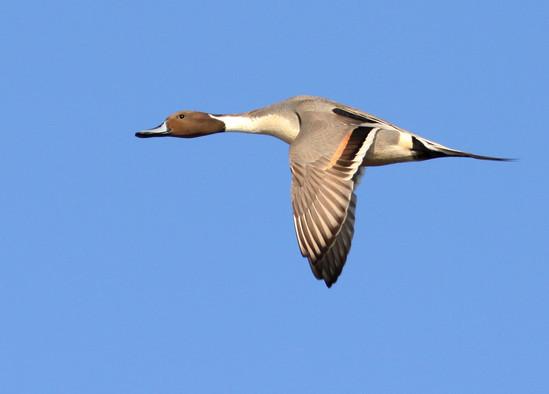 Northern Pintail Drake in Flight.jpg