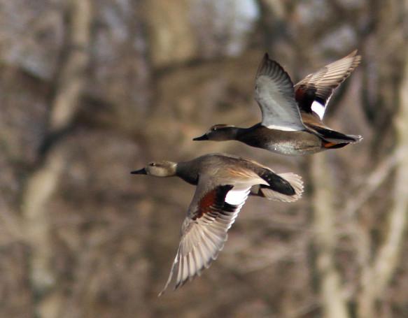 Gadwall Drakes in Flight