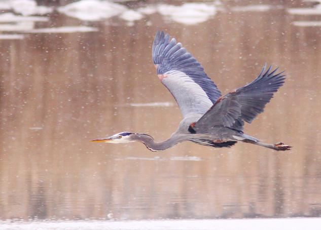 Blue Heron flying in snow
