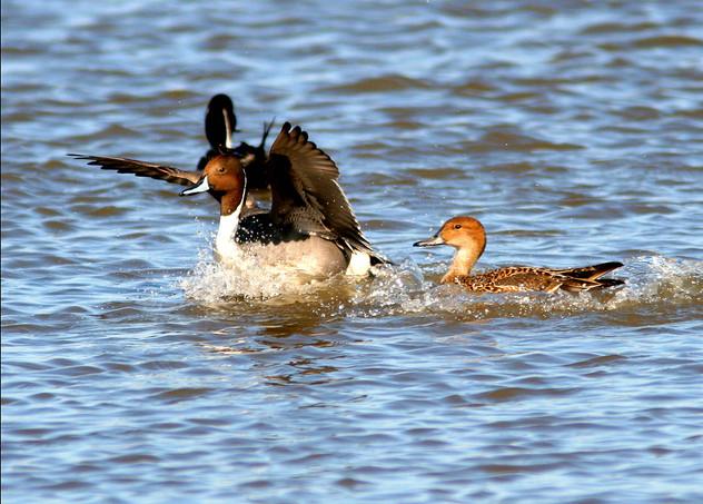 Northern Pintail splash down