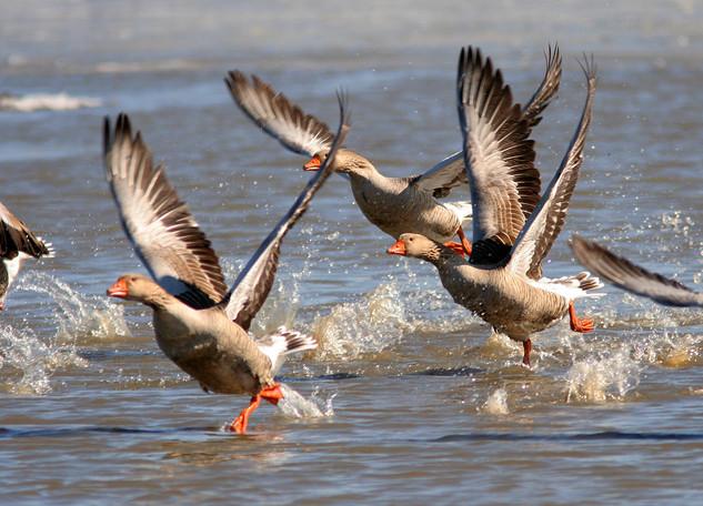 Greyland Geese running on water