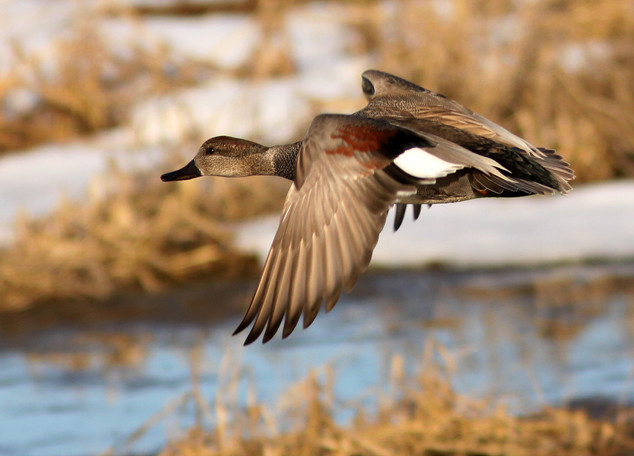 Gadwall Drake in Flight