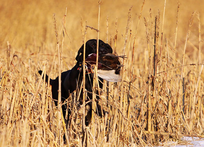 Oscar retrieving pheasant through reeds