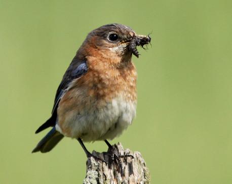 Bluebird on post with bug