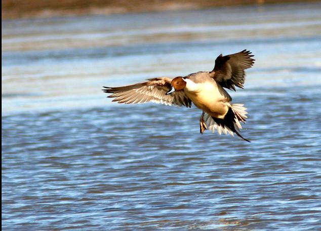 Northern Pintail Drake landing