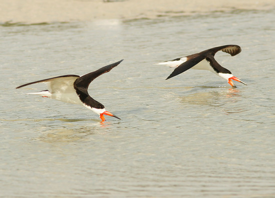 Black Skimmers over water