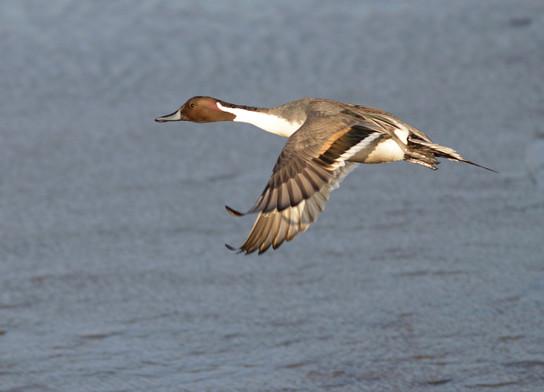 Pintail Flight