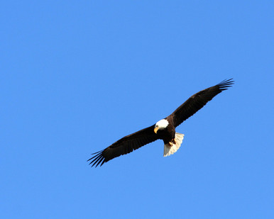 Eagle fly over looking for fish