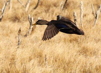 American Black Duck in Flight.jpg