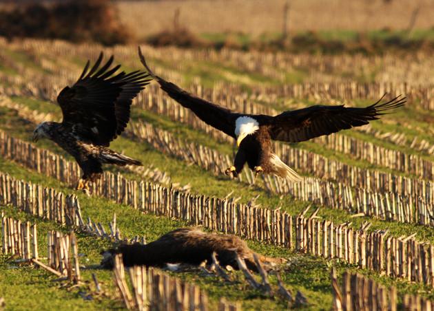Adult Bald Eagle Taking Over