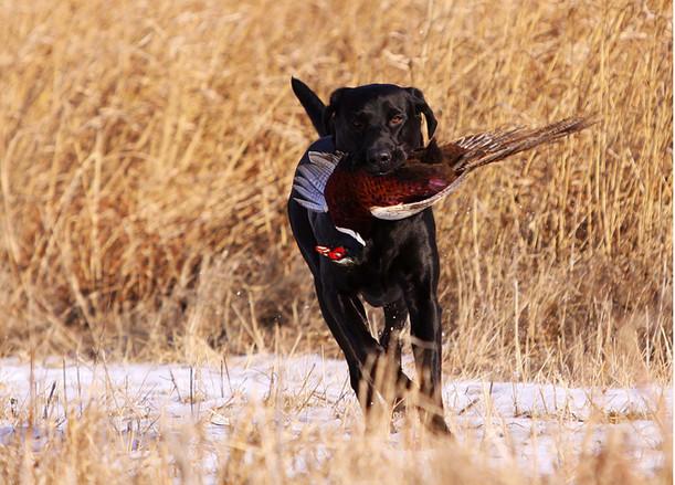 Oscar retrieving pheasant