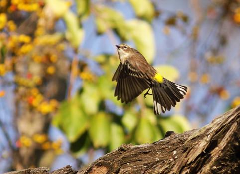 Yellow-rumped Warbler Taking Flight