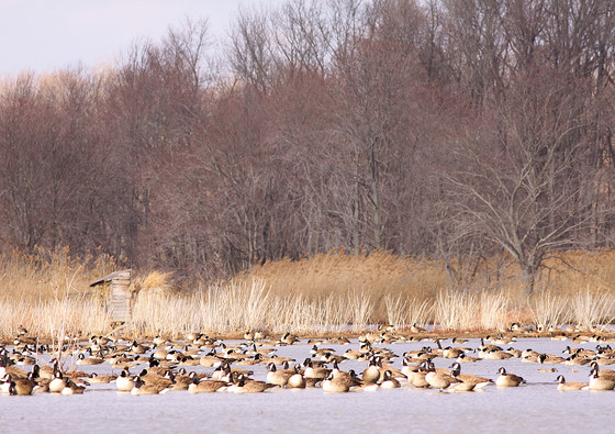 Canadian Geese on water