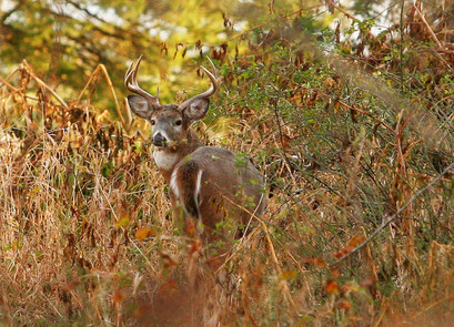 Buck stare
