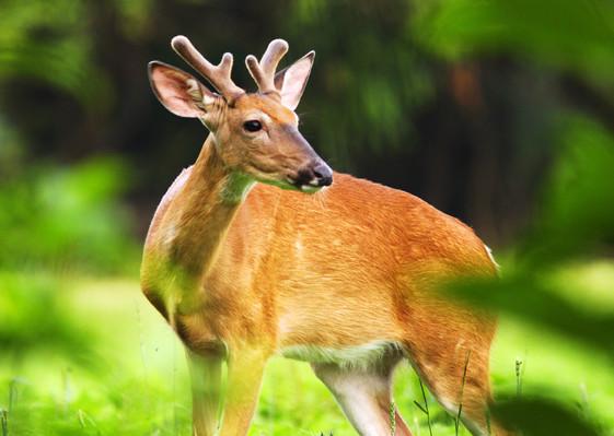 Growing Buck
