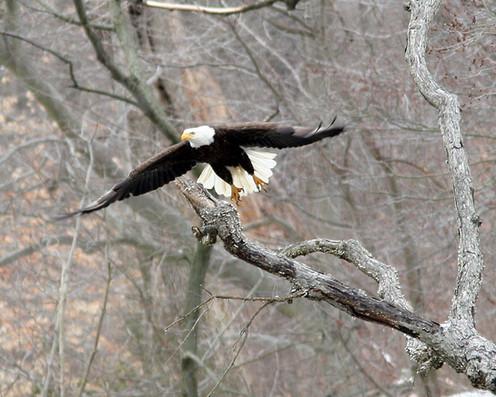Eagle taking off