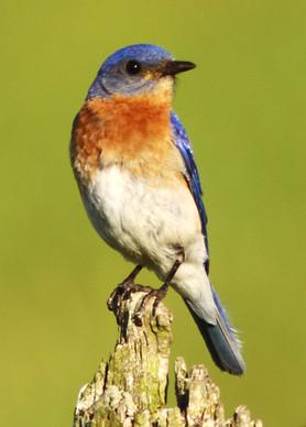 Bluebird Portrait