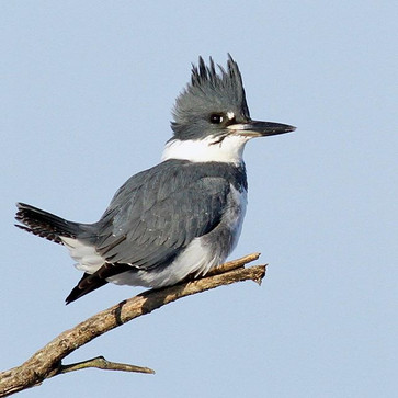A Belted Kingfisher