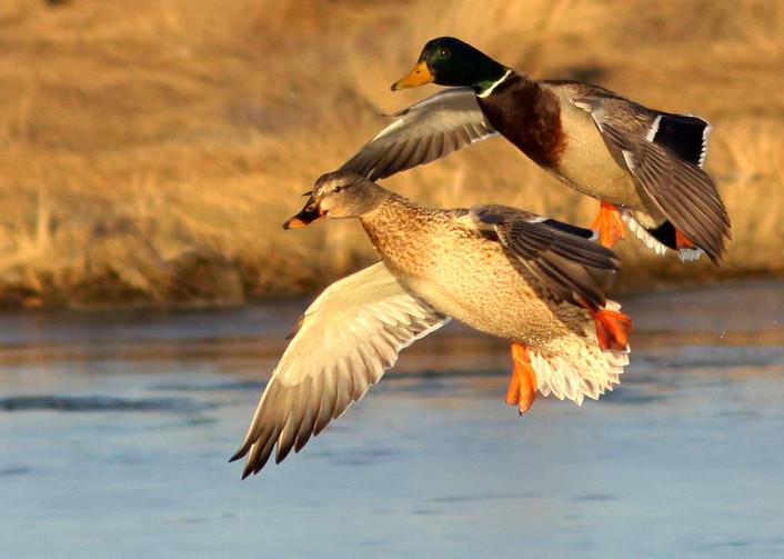 Mallard Drake & Hen Landing.jpg