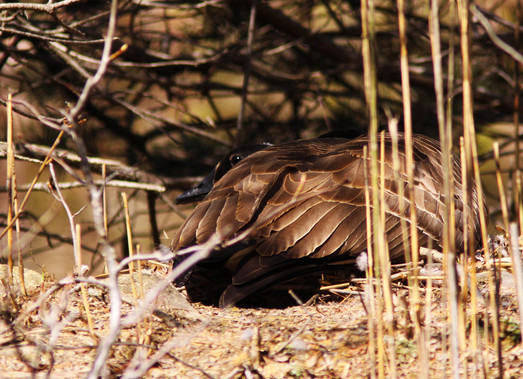 Canadian Goose-Guarding the Nest