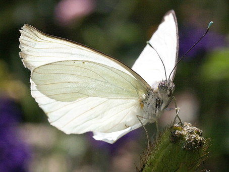White Butterfly in January