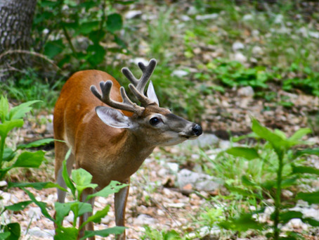 Maryland Plants to Deter Deer