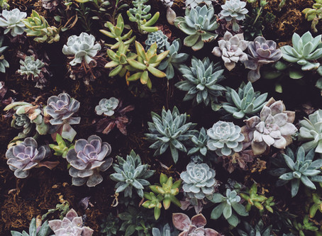 Can I plant outdoor succulents in Maryland?